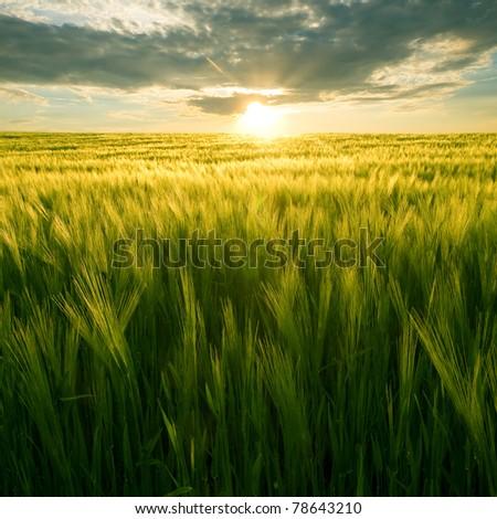 Sun over green wheat field.