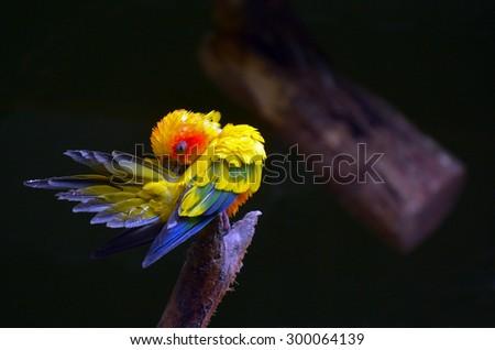 Sun parakeet or sun conure (Aratinga solstitialis) cleans up.
