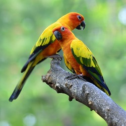 Sun parakeet or sun conure (Aratinga solstitialis) the lovely yellow with green and blue parrot birds perching on the branch in sweet moment