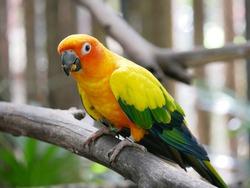 Sun Parakeet or Sun Conure Parrot (Aratinga solstitialis), Colorful bird  perching on a branch in Phuket Bird Park, Thailand