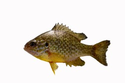 Sun perch isolated on white. Freshwater fish.