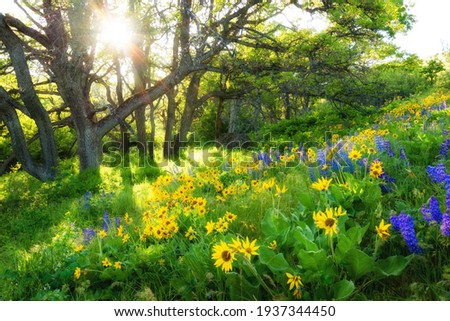 sun ray Wild flowers lupine balsam root under the oak Klickitat County columbia hills historical state park dalles mt ranch Photo stock ©