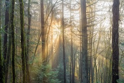 Sun Rays beaming through the morning mist in the Pacific Northwest Forest in Oregon
