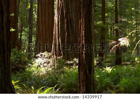 Sun rays casting in a sequoia tree forest