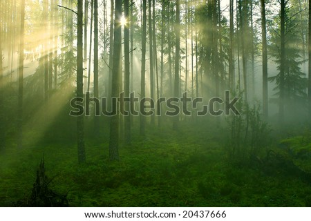 Sun rays crossing a misty forest photographed in an early summer morning.