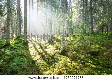 Sun rays flowing through the coniferous tree trunks at sunrise. Swampy evergreen forest in a morning fog. Young fir and tall pine trees. Idyllic landscape. Environmental conservation in Finland