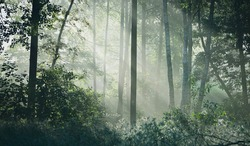 Sun rays flowing through the tree trunks of the evergreen forest. Fairy summer landscape. Mighty trees close-up. Golden sunlight. Picturesque panoramic scenery. Pure nature, environmental conservation