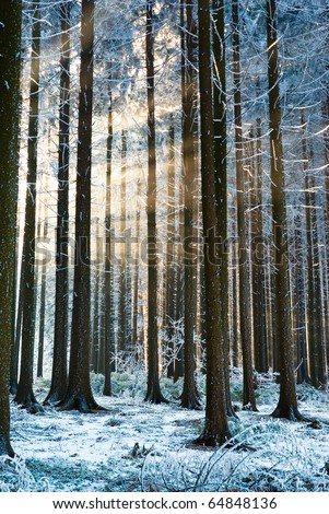 Sun rays getting through winter forest trees, sunbeams