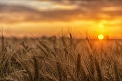 Sun rays hugging the wheats. Beautiful Nature Sunset Landscape.
