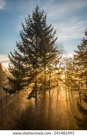 Sun Rays in a Magical Forest with fog and tall trees , Burns bog, Delta , British Columbia, Canada