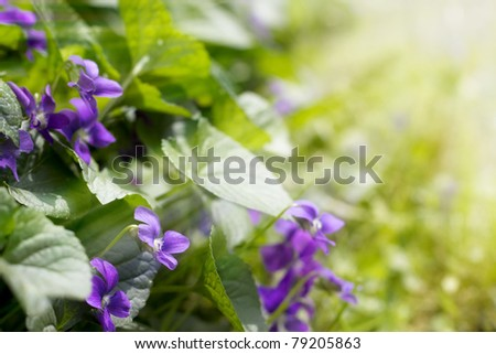 Sun rays shining at beautiful violets