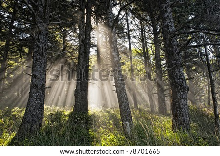 Sun rays shining though to the forest floor on a misty day.