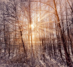Sun Rays through trees in a Winter Forest with Snow in the ground and Leaves