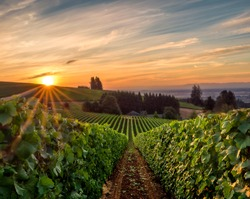 Sun rising over a vineyard in Willamette Valley