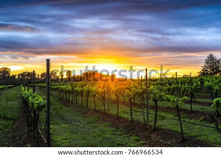 Sun rising over field of grapevines