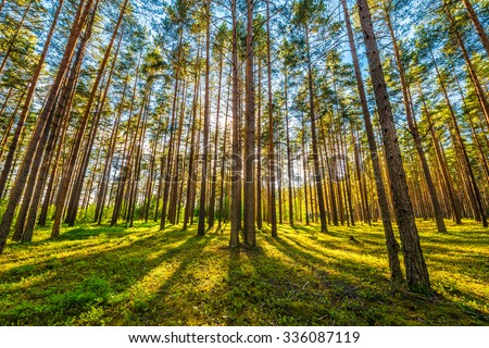 Sun\'s rays make their way through the trunks of trees in a pine forest