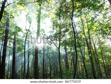 Sun\'s rays shining through the trees in the forest.