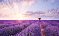 sun setting or rising over a lavendar field with a single tree