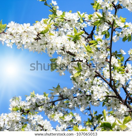 Sun shines branches of a blossoming apple tree