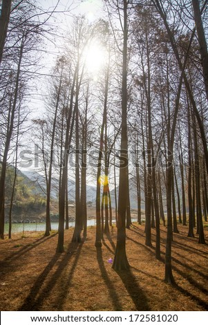Sun shines on cedar forest