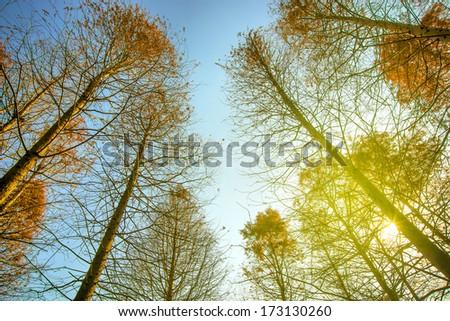 Sun shines on cedar forest sky