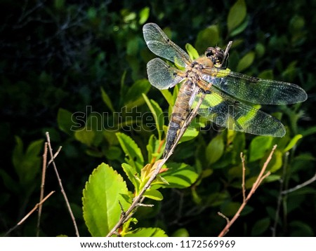 Sun shining on a Four Spotted Chaser dragonfly resting in the brush on an overgrown lakeside beach. #1172569969