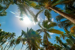 Sun shining over coconut palm trees in Guadeloupe, Lesser Antilles. French west indies, Caribbean sea