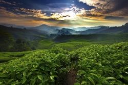 Sun shining over tea garden
