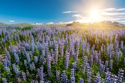 Sun shining over the meadows full of blooming Nootka lupin (Lupinus nootkatensis) under the Snaefellsjokull glacier, Snaefellsnes peninsula, Iceland.