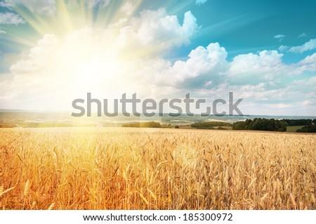 Sun shining through ripe wheat #185300972