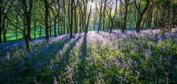 Sun Shining Through Trees in Bluebell Wood