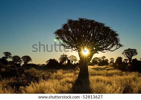 Sun shining trough a quiver tree