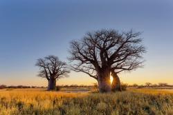 Sun starburst at the baobab trees