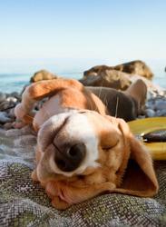 Sunbathing beagle puppy portrait lying at the sea coast