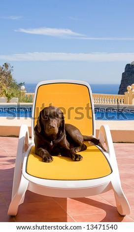 Sunbathing Labrador Puppy