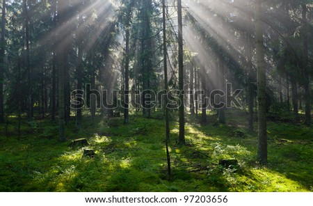 Sunbeam entering dense coniferous standing misty morning rain after