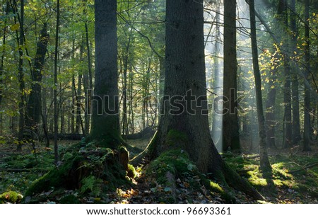 Sunbeam entering mixed stand in autumnal morning - stock photo