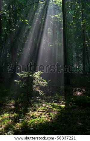 Sunbeam entering rich deciduous forest and young spruce illuminated
