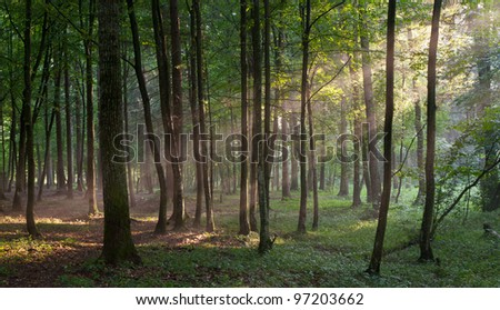 Sunbeam entering rich deciduous forest in misty evening rain after