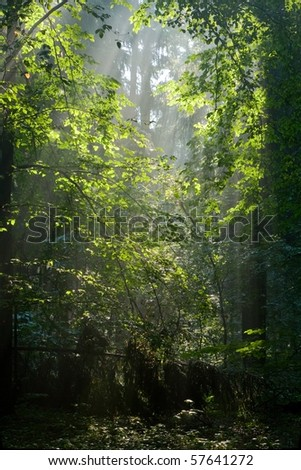 Sunbeam entering rich deciduous forest in misty morning