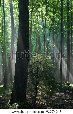Sunbeam entering rich deciduous forest in misty morning rain after