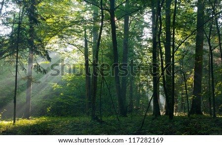 Sunbeam entering rich deciduous forest in misty morning with old hornbeam trees in foreground