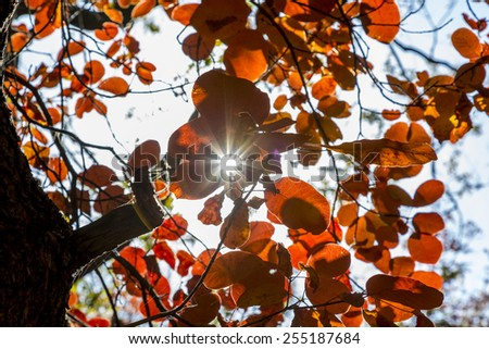 Sunbeam penetrates the bush of red autumn leaves.\ Autumnal forest, bright red and orange leaves, sunbeam shines throw the bunch of leaves