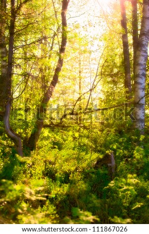 sunbeams in birch forest at summer morning