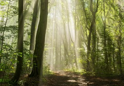 Sunbeams in Foggy Green Forest