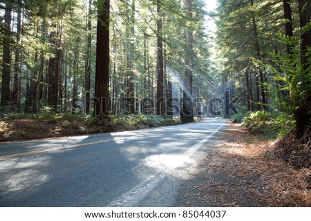 Sunbeams of morning sunlight shine through redwood forest and lighting a forest road in Redwood National and State Parks in northernmost coastal California.