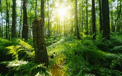 Sunbeams Shining through Natural Forest of Beech Trees, ferns covering the Ground