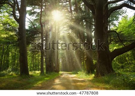 Sunbeams trough cedar trees at  Cheverny Chateau park. France