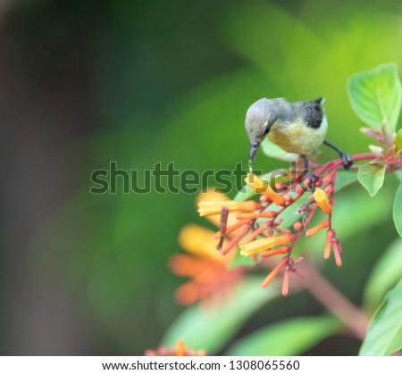 Sunbird drinking nectar
