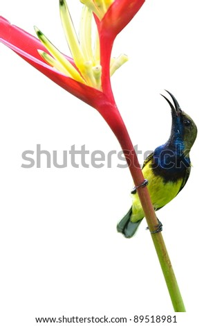 sunbird flower bird isolate on white